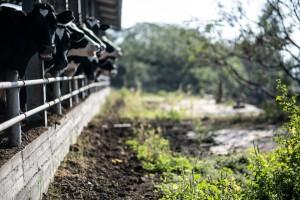 חוות בקר למאכל ברשפון2
